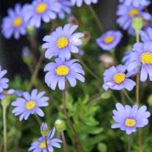 Blue Marguerite Daisy