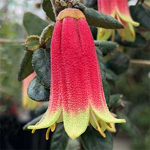 Correa reflexa - The Native Fuchsia