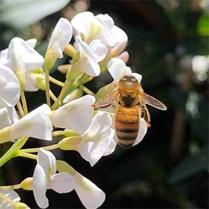 Hardenbergia violaceae Edna Walling 'Snow White'