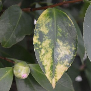 Common Camellia Diseases and Problems - Yellow Leaves