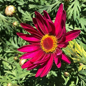 Argyranthemum Superior Purple