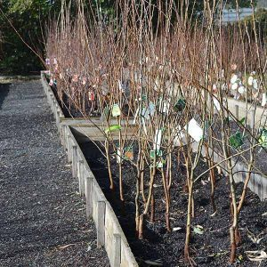 Bare Root Fruit Trees Nurseries Online