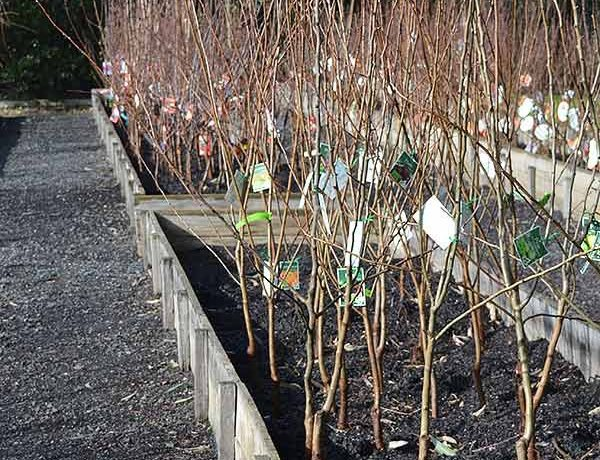 Bare Root Fruit Trees - Ready for sale