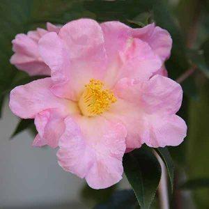 Camellia lapidea