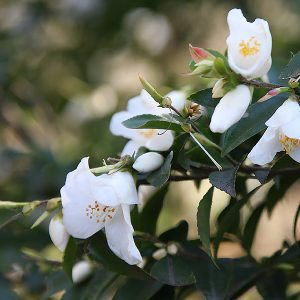 Small Flowering Camellia - Wirlinga Bride