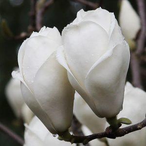 Magnolia Lennei Alba