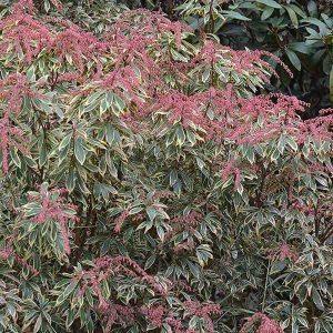 Pieris japonica 'Variegata'