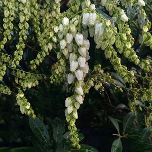 Pieris 'Temple Bells'