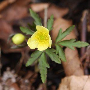 Anemone x lipsiensis