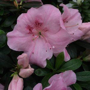 Azalea indica 'Pink Dream'