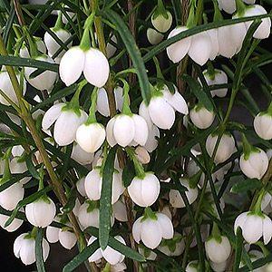 Boronia heterophylla - White Form