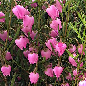 Boronia heterophylla  - The Red Boronia