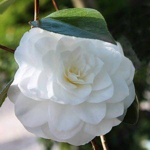 Camellia Nuccio's Gem