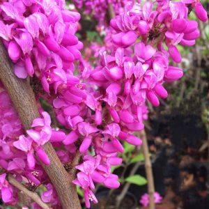 Cercis chinensis 'Avondale' -  Chinese Redbud