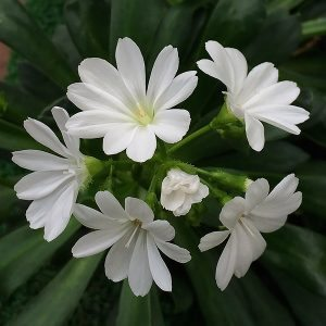 Lewisia - White Flowering Variety