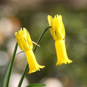 Narcissus cyclamineus