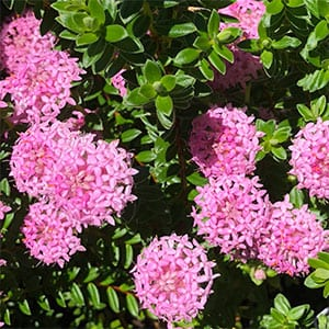 Pimelea ferruginea - Pink Form