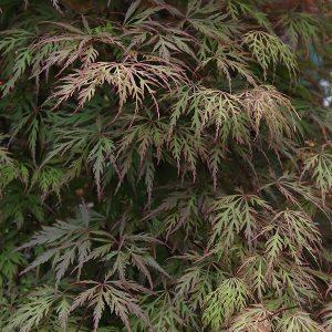 Acer palmatum dissectum 'Orangeola'