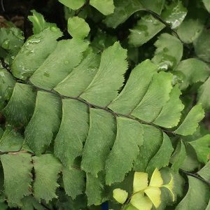 Adiantum fulvum - The New Zealand Maidenhair Fern