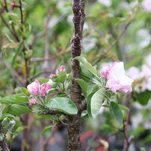 Columnar apple trees nurseries online - Upright trees for small spaces concept ...