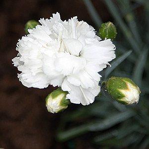 Dianthus x allwoodii 'Memories'