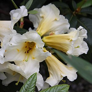 Rhododendron Floral Sun