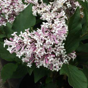 Syringia pubescens 'Miss Kim'
