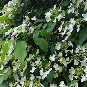 Viburnum plicatum Lanarth - Flower & Foliage
