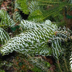 Abies korena Silberlocke - Korean Fir