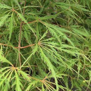 Acer palmatum 'Demi Sec'