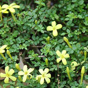 Jasminum parkeri - A Dwarf Jasmine