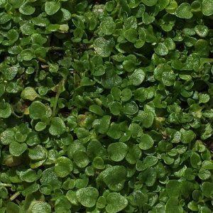Corsican Mint - Mentha requienii