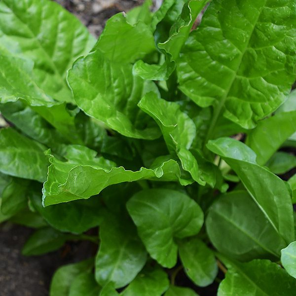 how to grow perpetual spinach