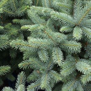 Picea pungens - Blue Spruce or Colorado Spruce