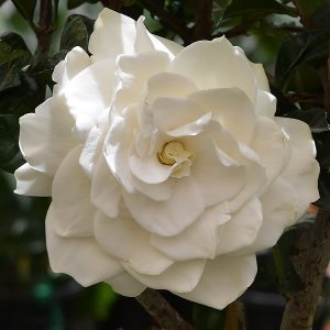 Gardenia 'True Love'