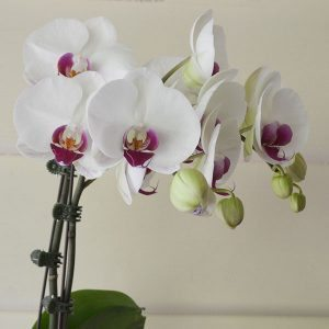 Orchid Flower Clips