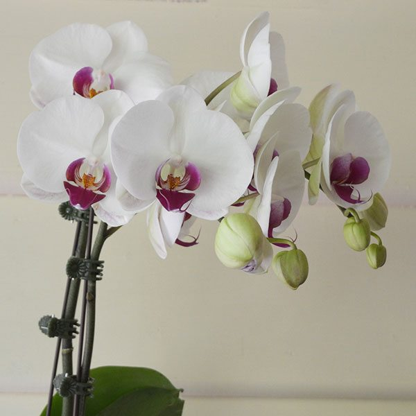 How To Use Orchid Flower Spike Clips Nurseries Online