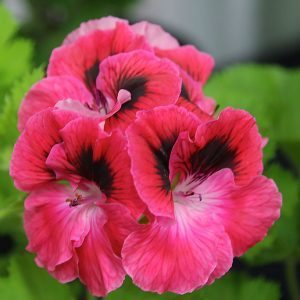 How To Grow Regal Pelargoniums From Cuttings Nurseries Online