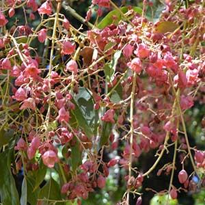 Kurrajong Tree Flowers - Brachychiton populneus
