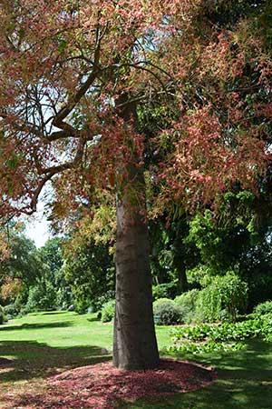 Kurrajong Tree - Brachychiton populneus