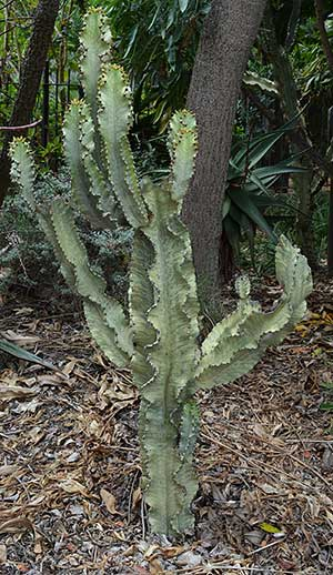 Euphorbia ammak - The Pale Euphorbia