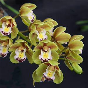 Cascading Cymbidium Orchid