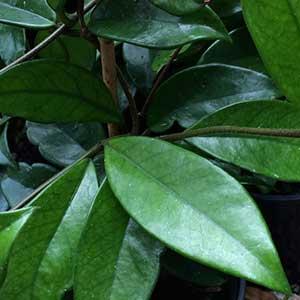 Hoya australis Foliage