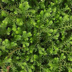 Selaginella kraussiana - Green Club Moss