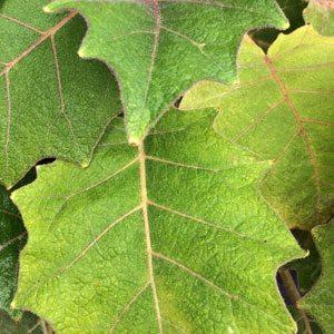 Solanum quitoense - Golden Fruit of the Andes