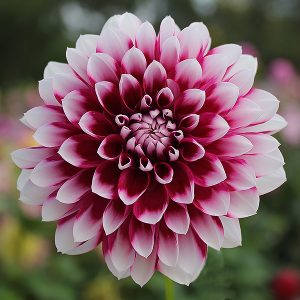 How To Grow Dahlias In Pots Nurseries Online