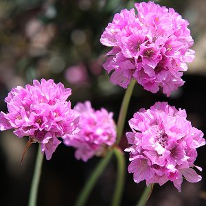 Armeria (thrift) - Bees Pink