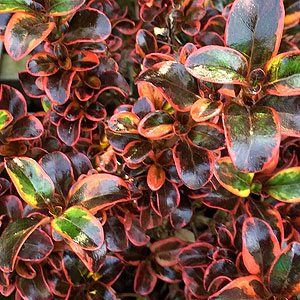 Coprosma ignite