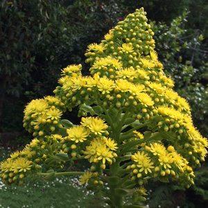 Aeonium arboreum flower