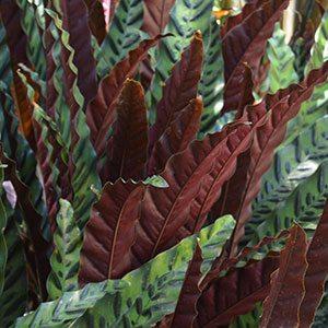 Calathea insignis - The Rattlesnake Plant